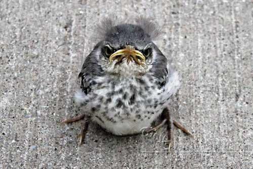 Baby Bird with Attitude