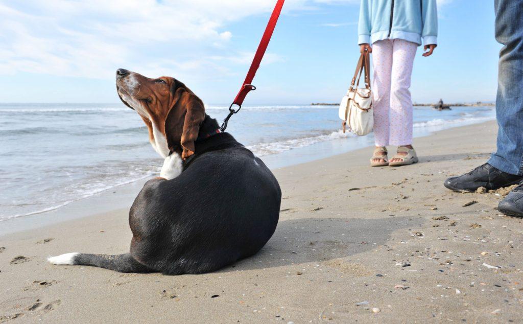 Pchły u psa. Drapiący się pies na plaży.
