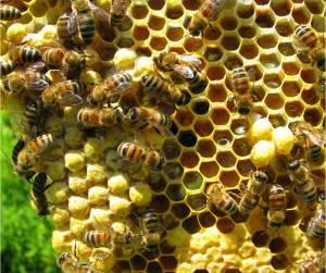 peluang usaha lebah madu