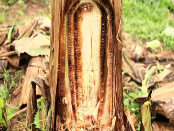 layu fusarium pada tanaman pisang 2
