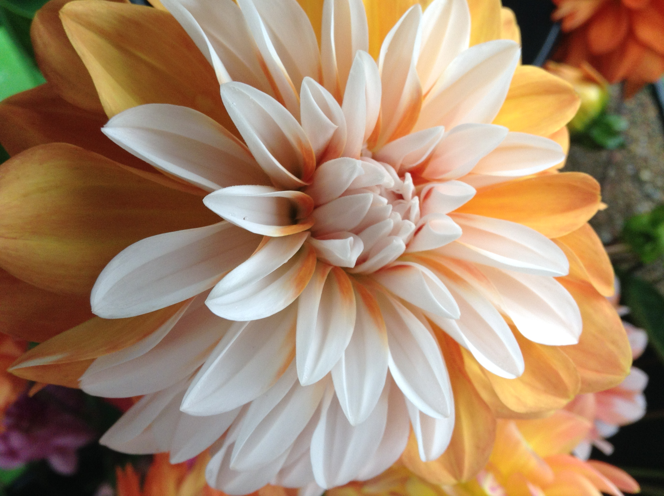 About us warwick dahlias we open the garden once a year to the public on labor day weekend this year that is sept 1st and 2nd 2018 all other times the farm is open by izmirmasajfo Gallery