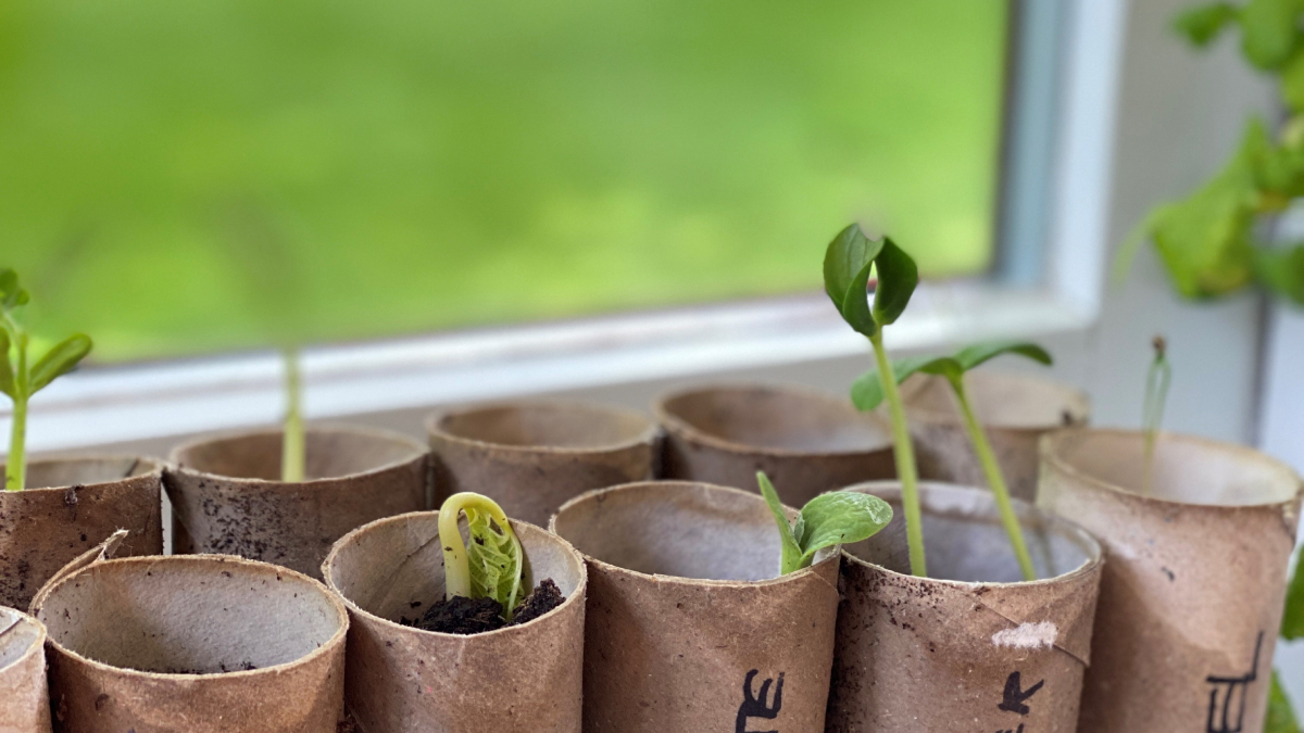 young plants growing in recycled toilet rolls