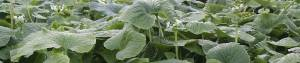 Healthy Wasabi Plants grown using information in Wasabi Growers Primer