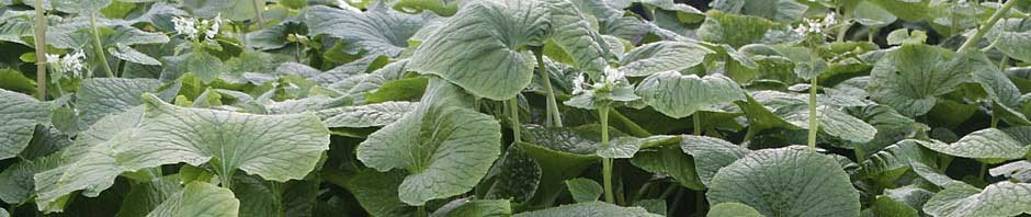 Demand for Wasabi growing daily. Become a grower now using World Wasabi Technology..