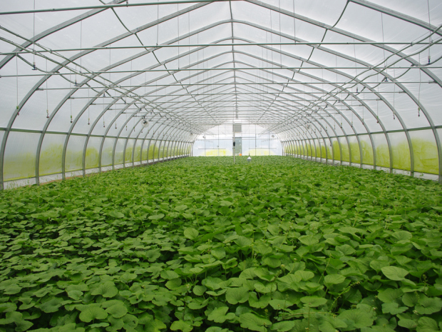Inside view of Wasabi growing greenhouse. Note hanging water sprays.