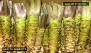 Wasabia japonica Scientific Studies Listing