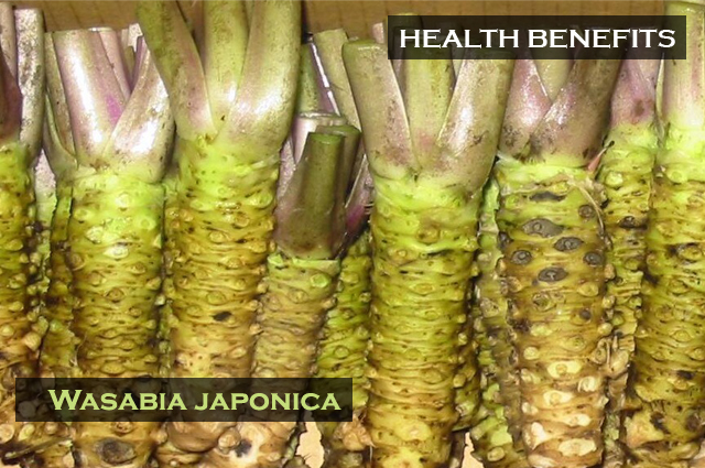 Wasabia japonica rhizomes after cleaning and ready for processing or eating