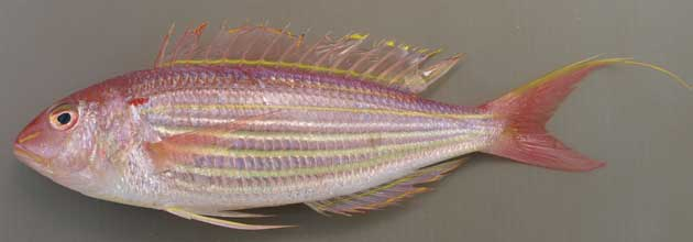 Picture of Golden Threadfin Bream. Currently classified as Endangered due to overfishing.