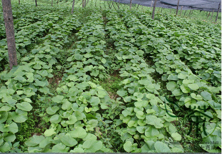 Wasabi Farm - growing in the ground - rows of wasabi