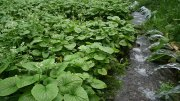 Growing Wasabi Hydroponically