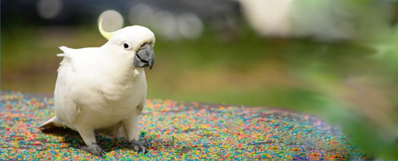 Cockatoo Hero