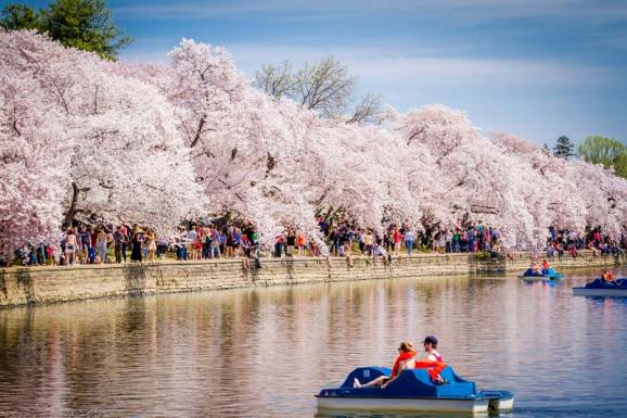 Image result for washington cherry blossom