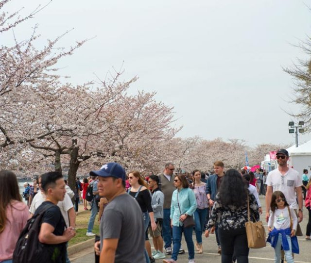 National Cherry Blossom Festival Tidal Basin Welcome Area And Performance Stage Spring Cherry Blossom Festival