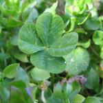 Four-leaf_clover_NC