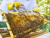 Closeup of bees and holney comb.