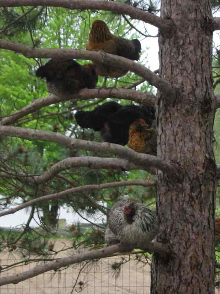Chickens Roosting In The Trees