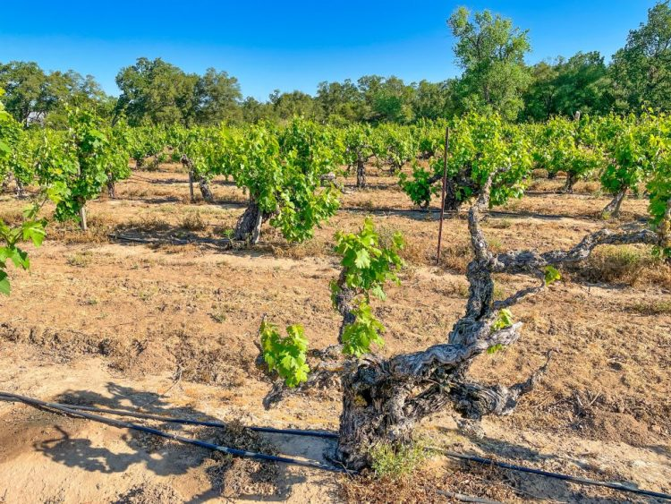 Tasting California's Ancient Vines: Lodi's Heritage Vineyards