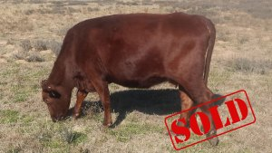 South Pole Cattle For Sale