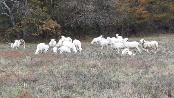St. Croix Sheep For Sale