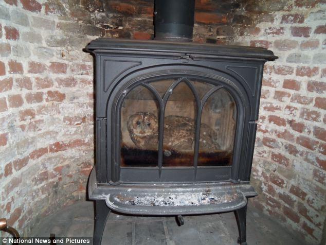 Tawny Owl in a wood-burning stove burner fireplace chimney flue owls