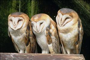 barn_owls_spl_4_470x317