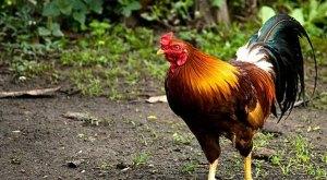 Panduan Umum Cara Ternak Ayam Kampung