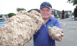 wasps 11 696x464 - Giant wasp nest pulled from New Zealand home