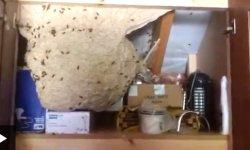 newbury wasp nest - 'Humongous' wasps' nest found in Newbury garage cupboard