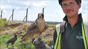 Peregrine falcon and Harris hawk
