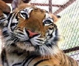 sick tiger