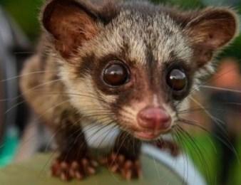 Civet Bio-Diversity