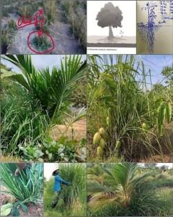 Vetiver symbiotic farming