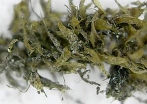 ホソウリゴケの根元付近の葉を拡大した写真