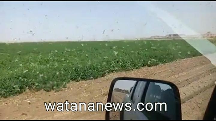 بالفيديو اسراب الجراد تغزو مزارع معان اليوم الجمعة