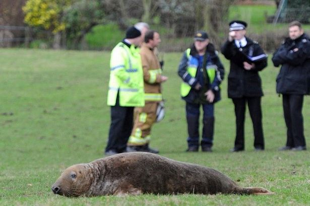 Seal-found-in-a-field-in-St-Helens (1)