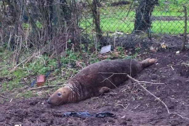 Seal-found-in-the-middle-of-a-field-in-St-Helens-area