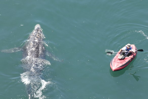 A gray whale and kayaker surprise each other, and both turn to avoid each other.