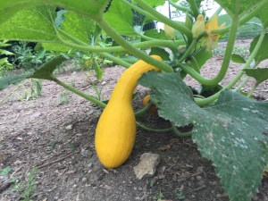 yellow squash growing in Miss Mary's Woodlawn community garden