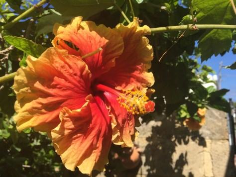 Orange hibiscus flower in garden
