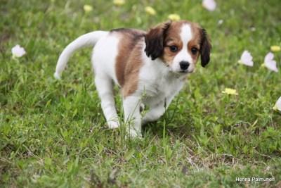 Kooiker puppy Finn