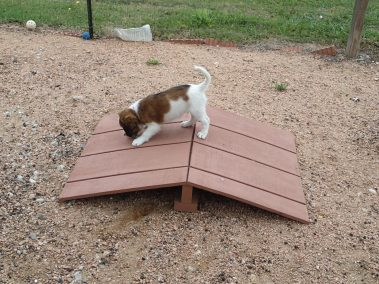 Kooiker pup on the mini A-Frame