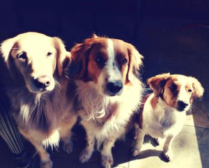 Kooiker puppies, kooikerhondjes,kooikers, kooikers in Texas
