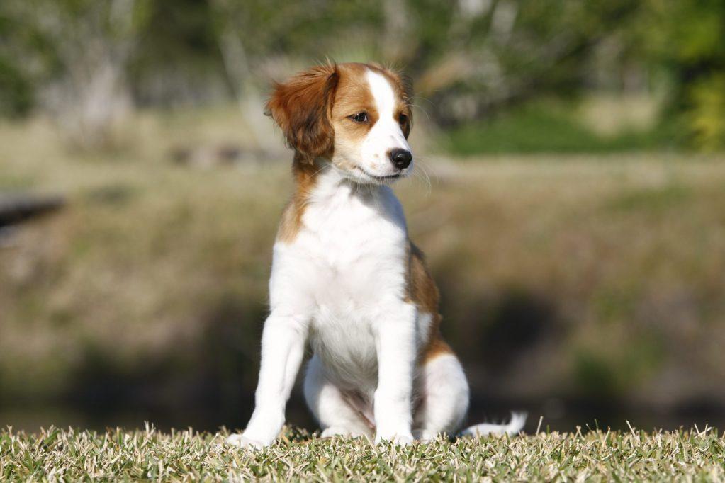 Waterbound kooikers, waterbound, kooikers, kooikerhondjes, kooikers, kooikerhondje, kooiker, spaniel, Nederlandse kooikerhondje, Dutch Decoy Dog, dutch spaniel, dog, puppy