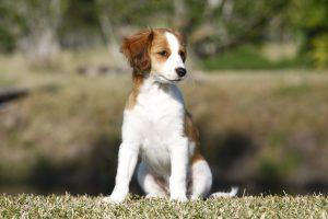 Kooiker puppy