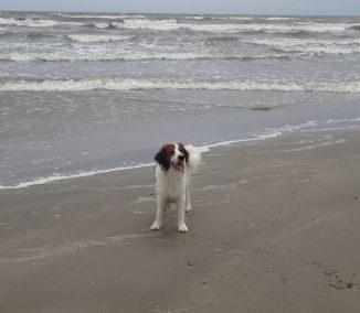 Kooikerhondje Astro  at Galveston Beach.