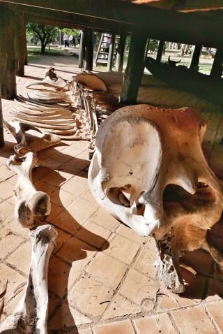 Elephant Skeleton?