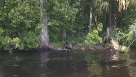 Gator Ready to Attack