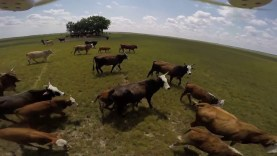 Messing with Cows