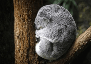 Koala-by-Geraldine-Malthouse-300x212