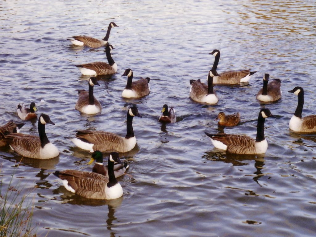 Image result for geese and ducks